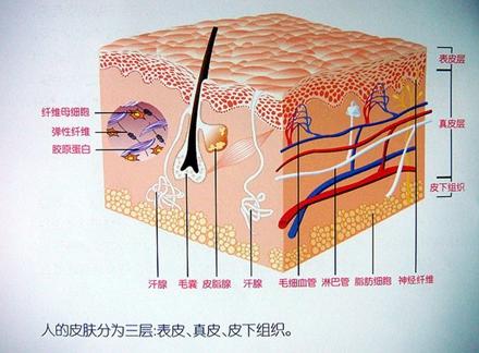 皮肤的结构分为三层:表皮层,真皮层和皮下组织,其中真皮层由纤维