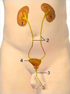 女性膀胱位置图片_肚子痛需注意_百度知道