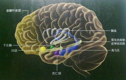 大脑皮层结构和功能