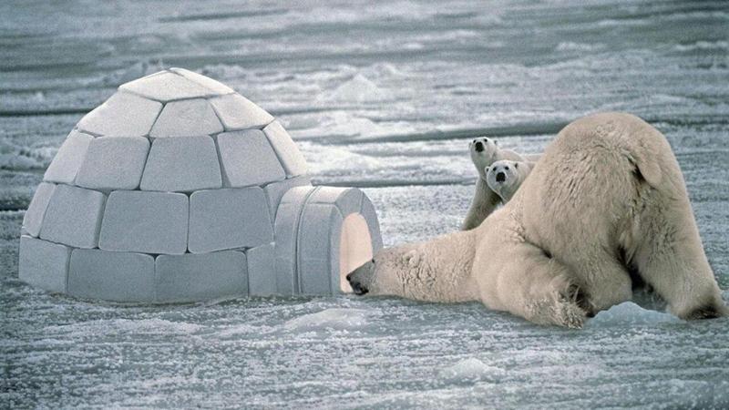 除了北极熊,北极还有哪些动物?