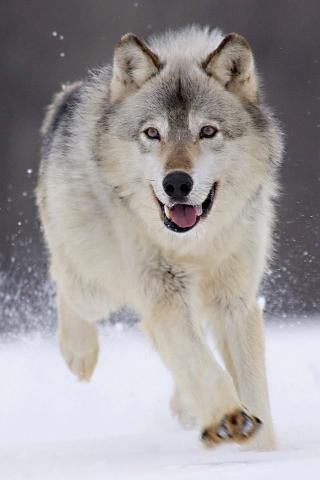 关于狼的手机壁纸
