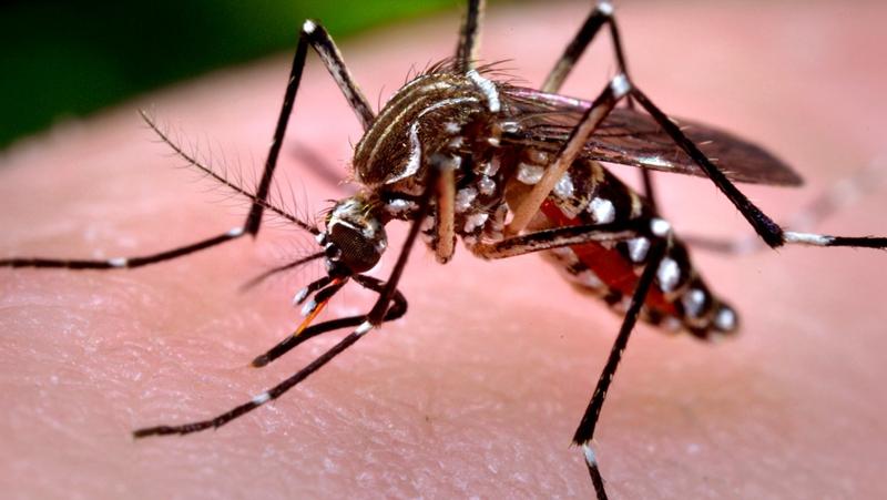 蚊子吸各种动物的血