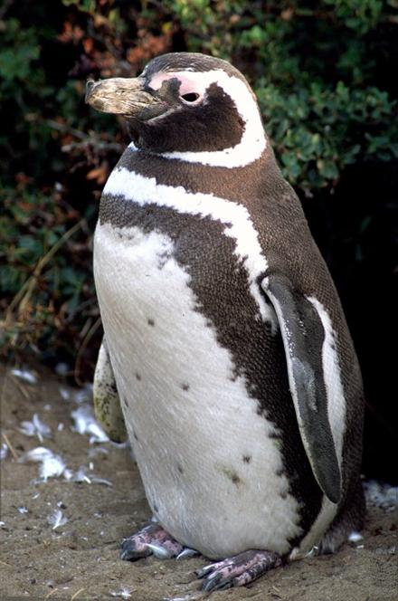 企鹅到底有多少种?_《知识就是力量》杂志