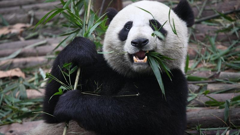 大熊猫的食谱,并非竹子那么简单?