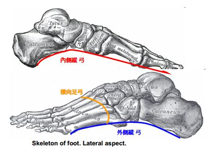 足部骨头解剖结构图