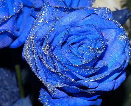 蓝色妖姬为什么最受市场亲睐?