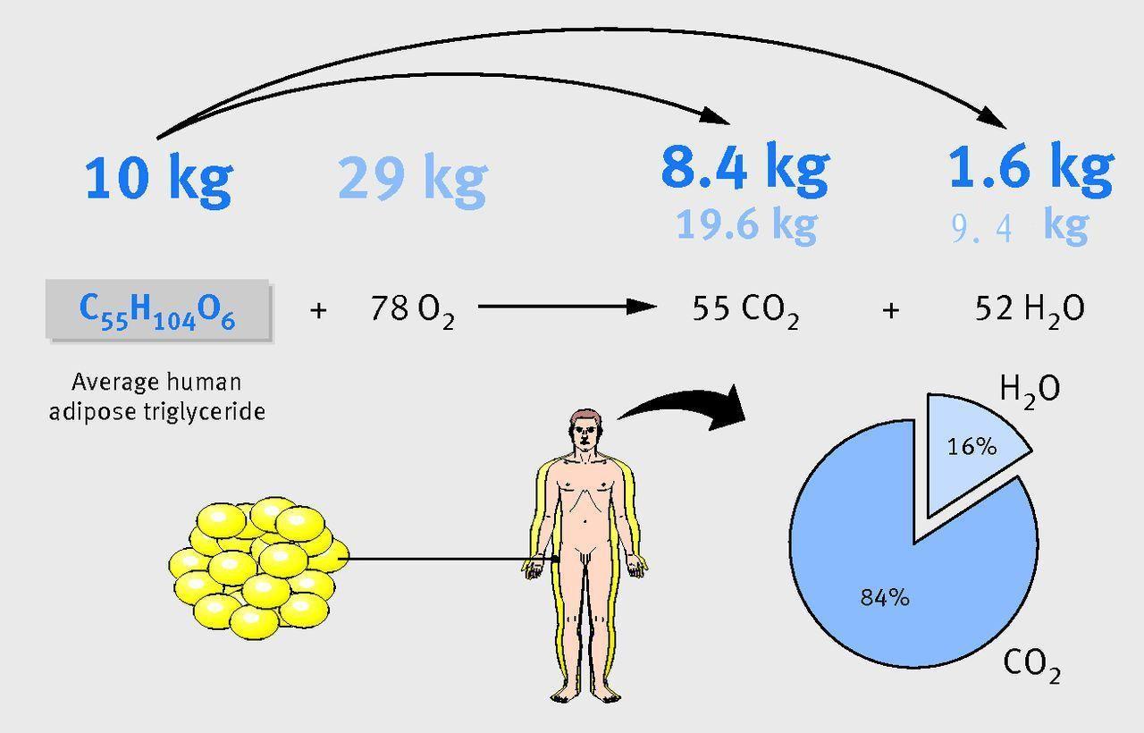 减肥10公斤脂肪,需要吸入29公斤氧气,有8.4公斤被氧化成二氧化碳,连同19.6公斤吸入的氧气共呼出28公斤二氧化碳;另有1.6公斤被氧化成水,连同吸入的8.4公斤氧气,共生成11公斤水。