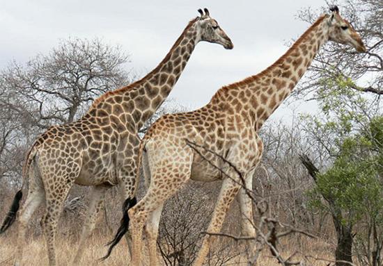 以后动物园里可能看不到长颈鹿了?
