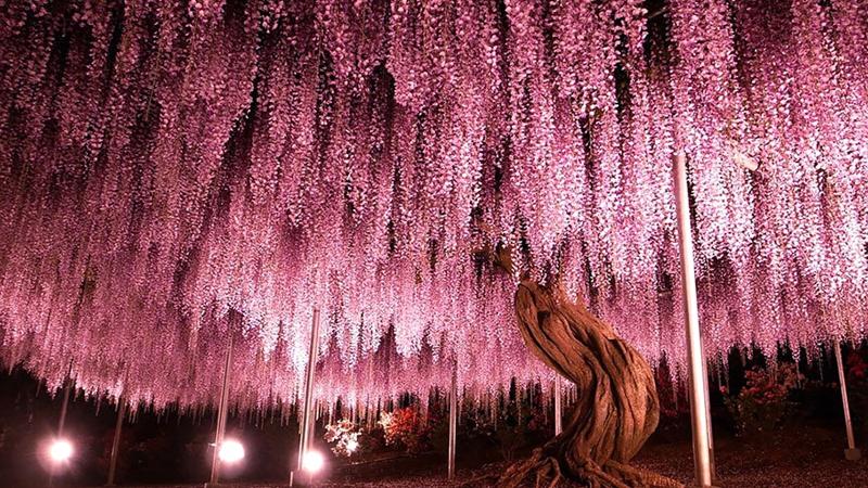 这棵树自1870年起就生长在日本的足利紫藤公园,它的枝叶覆盖了超过两千平米的地面。为了让游客们能够到树下欣赏拍照,工作人员用金属支架撑起了这棵树沉重的枝叶。像不像《阿凡达》里的灵魂树? 谢尔曼将军(General Sherman),这棵巨型红杉是世界上最高的单茎树