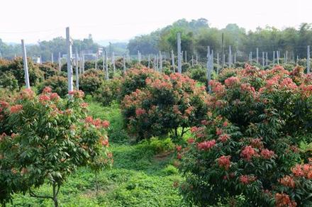 如今川南的合江仍有大面积荔枝园